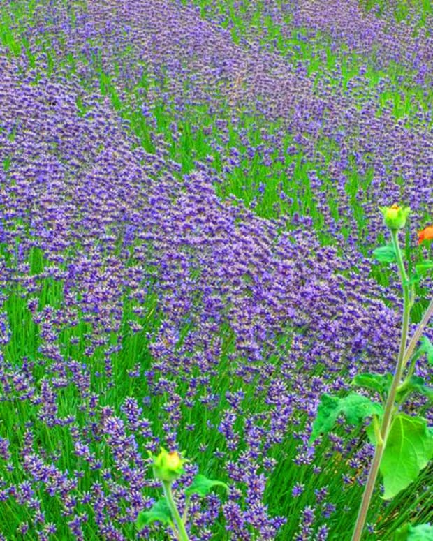 Lavender_Weleda Gardens in Germany