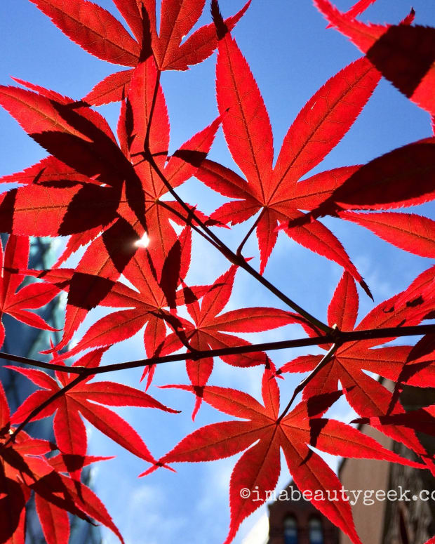 happy canada day japanese maple