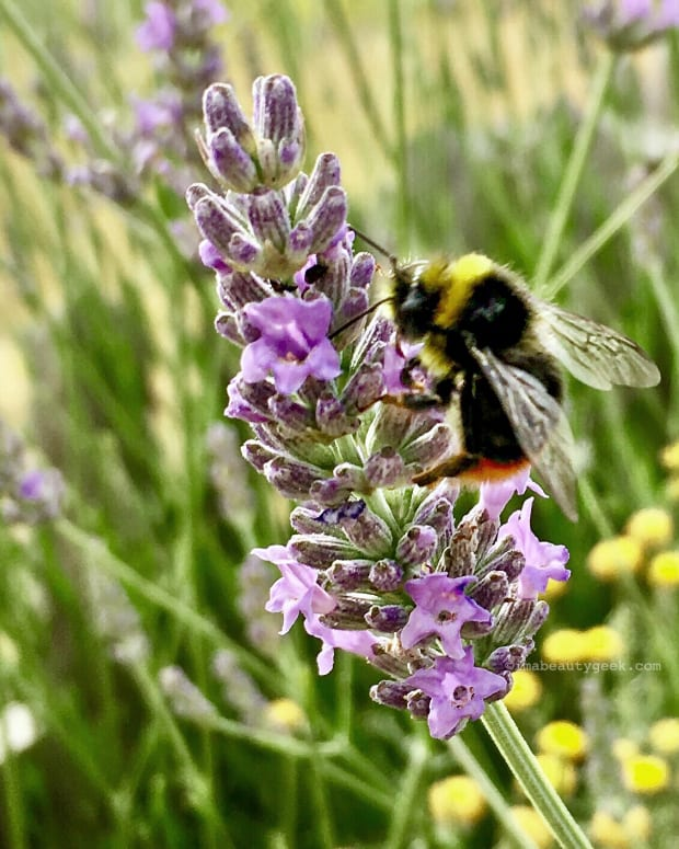 lavender-patch-bee-Yves-Rocher-La-Gacilly-July-2017-beautygeeks