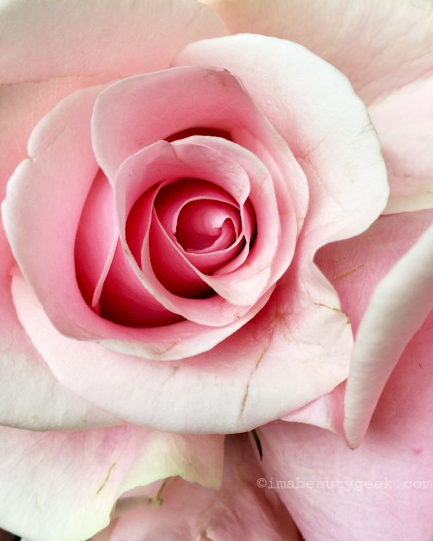 rose scents we love_rose image copyright imabeautygeek.com