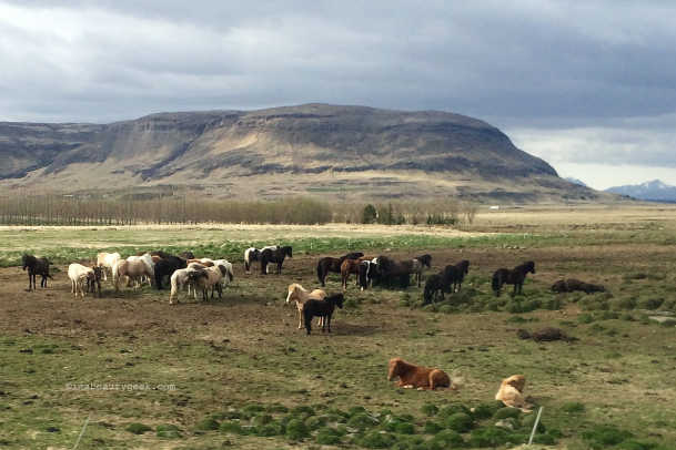 ICELAND_Wow Air_Icelandic horses hanging out near Skjol.jpg