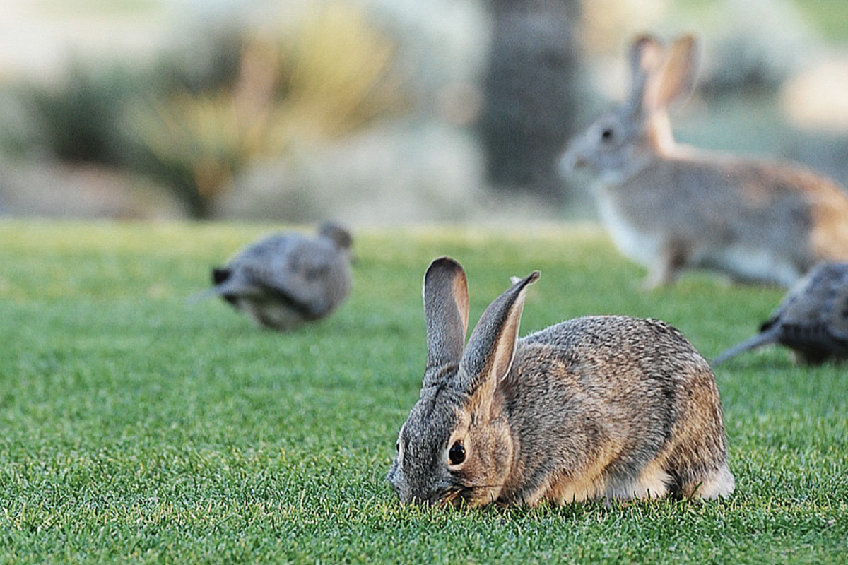bunnies at The Boulders_scottsdale
