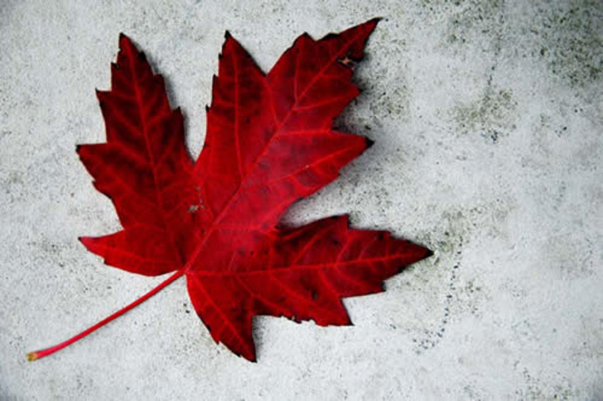 Canada Day leaf