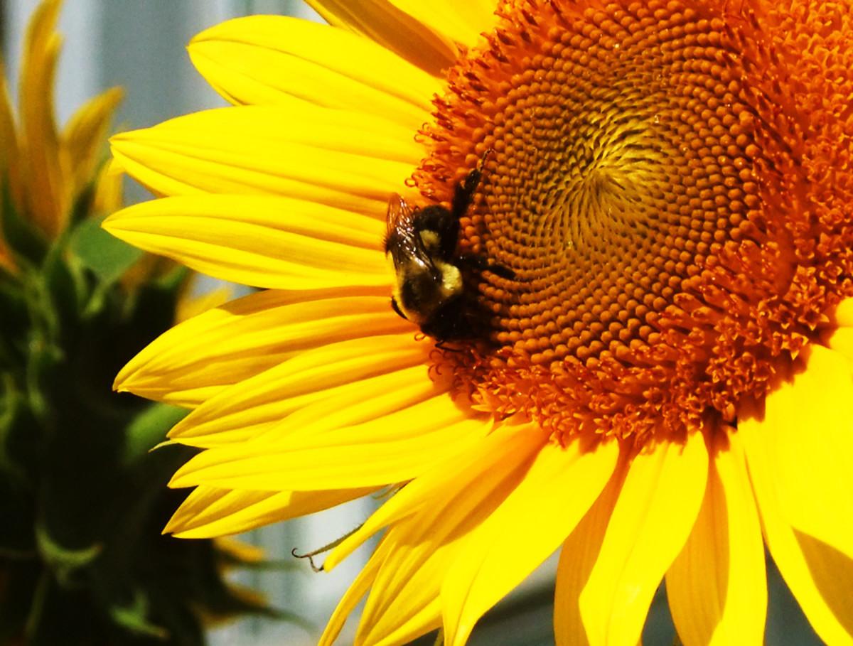 A bee in Toronto_copyright Janine Falcon_BEAUTYGEEKS_imabeautygeek.com
