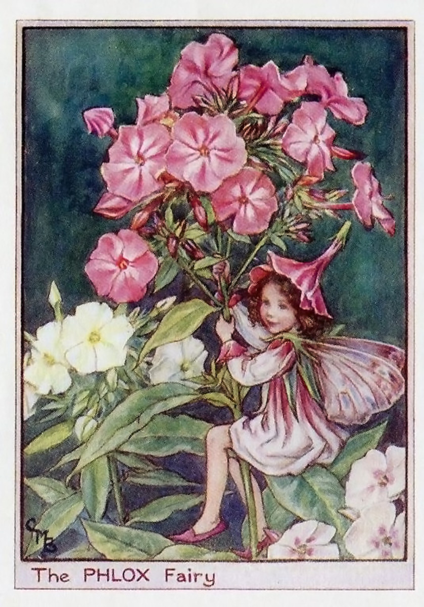 Phlox Flower Fairy