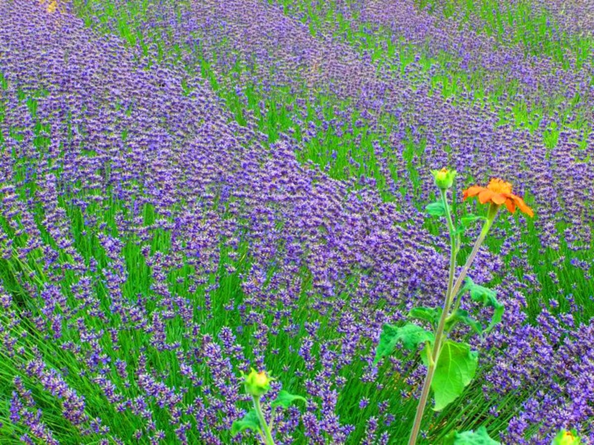 Lavender bed at the Weleda Biodynamic Garden in Schwäbisch Gmünd, Germany