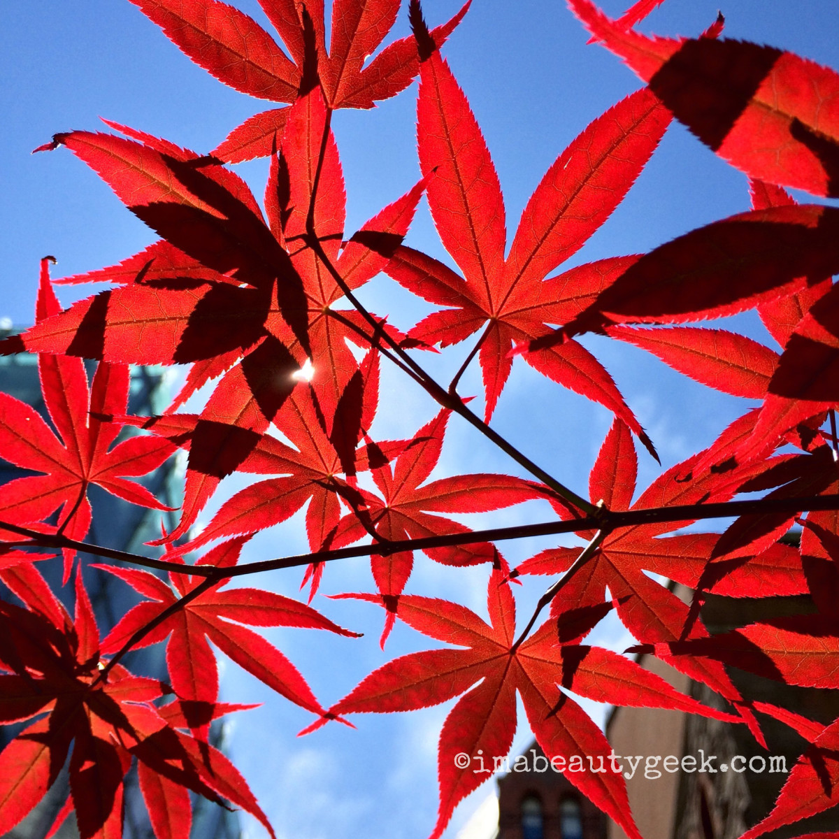 happy canada day japanese maple